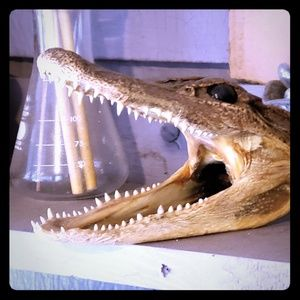 Other - Minature Alligator Preserved Taxidermy Head